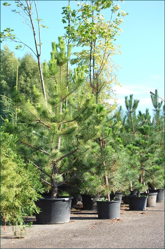 Image 4 Zaluma Tree Nursery
