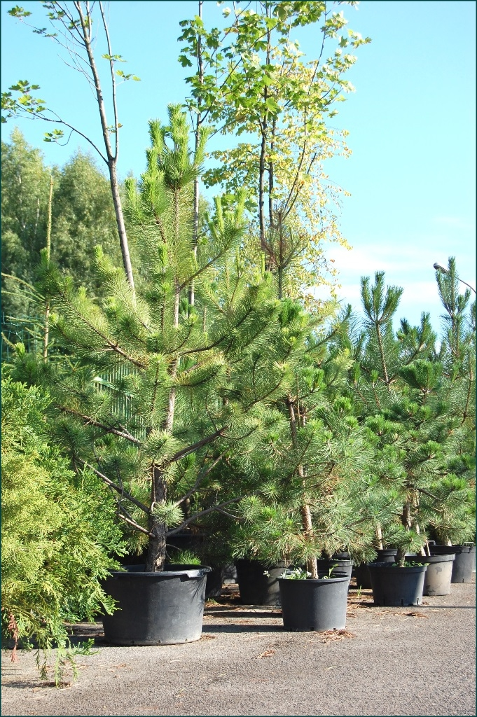 Image 4 Zaluma Tree Nursery